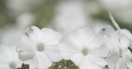 thomisidae : The crab spider is hunting on the white colored petal flower. Crab spider is a common name applied loosely to many species of spiders but most nearly consistently to members of the family Thomisidae. Stock Footage