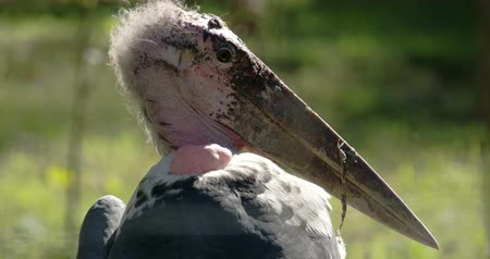 ciconiidae : The marabou stork with its long ang big beak  it has a hairy head and round small eyes. The marabou stork (Leptoptilos crumeniferus) is a large wading bird in the stork family Ciconiidae.