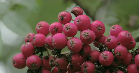 sorbus : Close up look of the bottom of the European Rowan fruit that is star shaped. Sorbus aucuparia  commonly called rowan and mountain-ash  is a species of deciduous tree or shrub in the rose family. Stock Footage