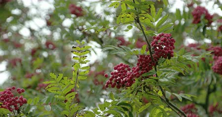 sorbus : Lots of Sorbus fruits on the European Rowan tree with its green leaves around. Sorbus aucuparia  commonly called rowan and mountain-ash  is a species of deciduous tree or shrub in the rose family.