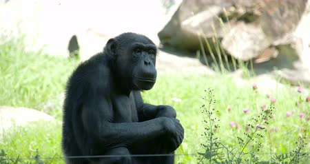 společenská místnost : A black common chimpanzee sitting on the grass looking around the area. The common chimpanzee (Pan troglodytes)  also known as the robust chimpanzee  is a species of great ape.