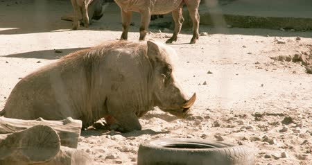 feiúra : A small desert warthog walking and then lying on the mud. The desert warthog is a species of even-toed ungulate in the pig family  found in northern Kenya and Somalia  and possibly Djibouti  Eritrea  and Ethiopia.