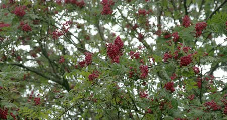 sorbus : Bunch of Sorbus fruits bloomed on its trees with green leaves around. Sorbus aucuparia  commonly called rowan and mountain-ash  is a species of deciduous tree or shrub in the rose family.