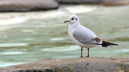 ptak : White small birds standing on a rock. Shown also is the rushing river on the background Wideo