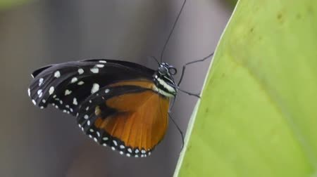 zámotek : A Tiger Longwing kind of butterfly in a leaf. The Tiger Longwing Hecale Longwing Golden Longwing or Golden Heliconian is a Heliconiid butterfly that occurs from Mexico to the Peruvian Amazon. Dostupné videozáznamy