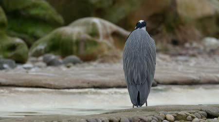 rock dove : A gray heron standing on the rock in the river in London