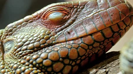 skin brown : Closer look of the red pinkins scaly head of the lizard Stock Footage