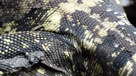 black iguana : The legs and the black and white skin of a lizard