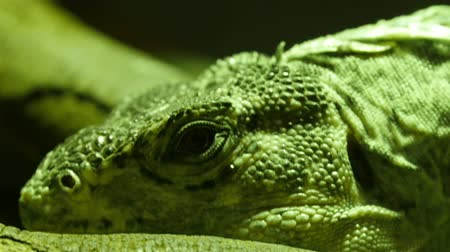 black iguana : Black round eyes of the Utila spiny-tailed iguana.