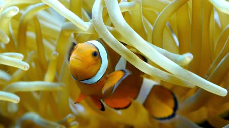 duro : A beautiful clownfish swimming underneath the corals Vídeos