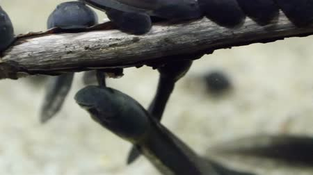 black iguana : Tiny black tadpoles swimming in the water