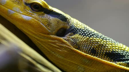 black iguana : Yellow black spotted lizard on a tree branch Stock Footage