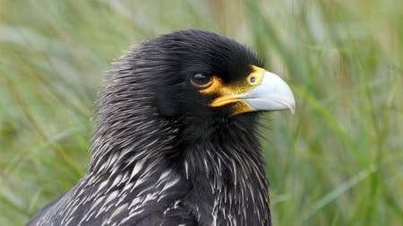 crested hawk eagle : The black striated caracara bird with white beak