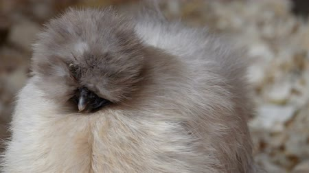 bantam : A kind of silkie chicken with white feathers