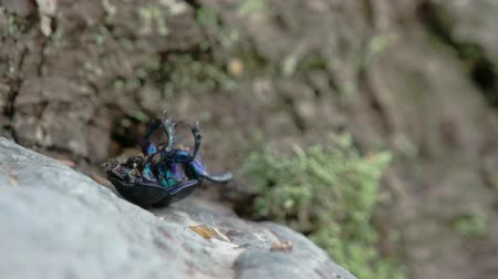 stag beetle : A shiny blue beetle having difficulty turning around Stock Footage