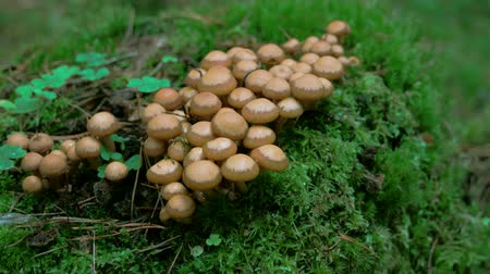 neobdělávaný : Bunch of honey fungus on the ground of the forest