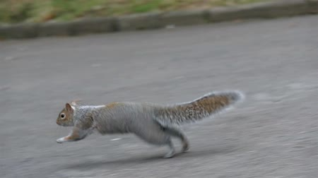 белка : A jumping squirrel on the road inside the cemetery