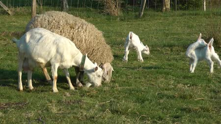 cabra : Goat and Sheep Stock Footage