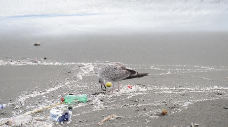 птица : Gull searching for food between rubbish on beach at naples Стоковые видеозаписи
