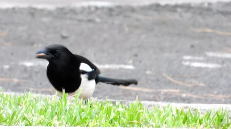 unlucky : A Magpie bird walking around looking for food sources.