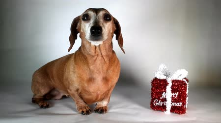 daksund : A Miniature Smooth Haired Dachshund in the Christmas Spirit. Beside a Merry Christmas gift. Stok Video