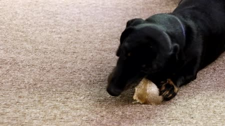 tacskó : A Miniature Dachshund chewing on a tasty dog treat.