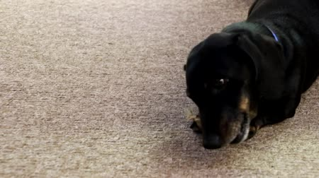 miniatűr : A Miniature Dachshund chewing on a tasty dog treat.