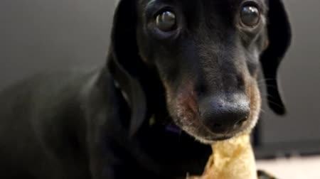 daksund : A Miniature Dachshund chewing on a tasty dog treat. The dog unhappy at the presence of another human  animal near his treat. Stok Video