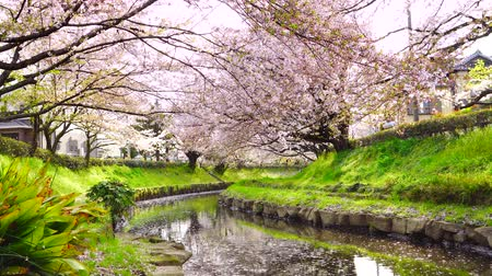 japan : [4K recording, with audio] Japanese Spring Cherry Blossom Blizzard Saitama Bukiage Cherry Trees Lined with Cherry Blossoms in the Former Arakawa Rive Stock Footage