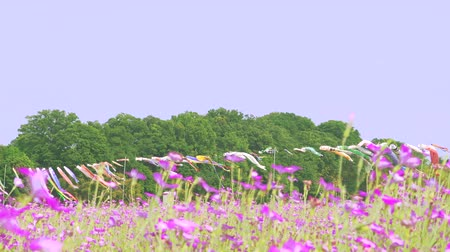 genişlik : [4K recording, no sound] Konosu Flower Festival Wheat Nadeshiko Flinging in the Wind [Zoomout]