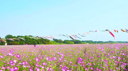 flama : [4K recording, no sound] Konosu Flower Festival Wheat Nadeshiko Flinging in the Wind [Zoomout]