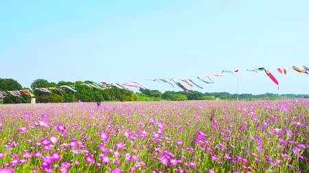 genişlik : [4K recording, no sound] Konosu Flower Festival Wheat Nadeshiko Flinging in the Wind [Zoomin]