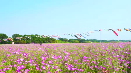 így : [4K recording, no sound] Konosu Flower Festival Wheat Nadeshiko Flinging in the Wind [Zoomin]