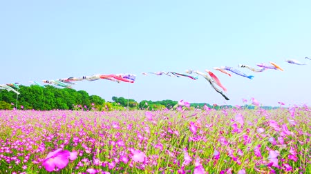 [4K recording, no sound] Konosu Flower Festival Wheat Nadeshiko Flinging in the Wind [Zoomout]