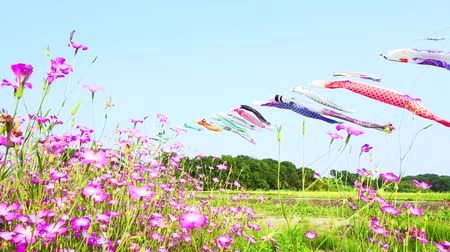 라일락 꽃 : [4K recording] Konosu Flower Festival Wheat Nadeshiko flinging in the wind