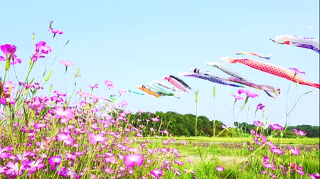 [4K Recording] Konosu Flower Festival Wheat Nadeshiko Flinging in the Wind [zoomin] Stok Video