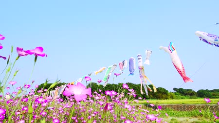 genişlik : [4K recording, no sound] Konosu Flower Festival Wheat Nadeshiko Flinging in the Wind