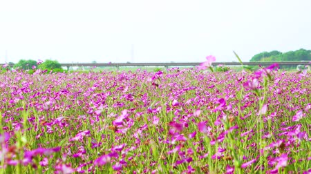 [4K recording, sound available] Konosu Flower Festival Wheat Nadeshiko flinging in the wind