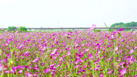 genişlik : [4K recording, sound available] Konosu Flower Festival Wheat Nadeshiko flinging in the wind