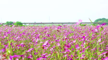 genişlik : [4K recording, sound available] Konosu Flower Festival Wheat Nadeshiko flinging in the wind [zoomout] Stok Video