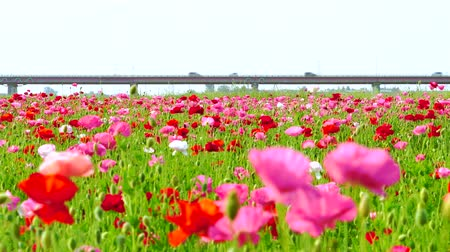 genişlik : [4K recording, no sound] Arakawa riverbed poppy field Konosu flower festival [zoomout] Stok Video