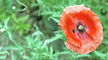mák : red poppy flower