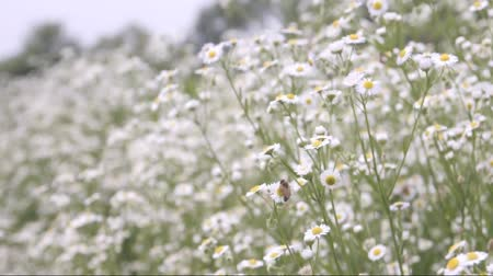 pszczoła : Wind blowing on Field of daisies and bees on a daisy