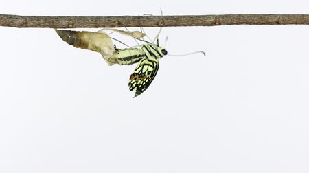 chrysalis : Stop motion lime butterfly emerging from chrysalis on white background.  Begin Stock Footage