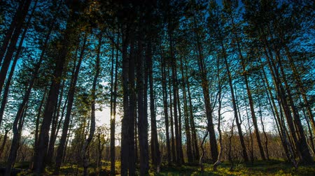 pinho : Sun breaking through pine trees Time lapse