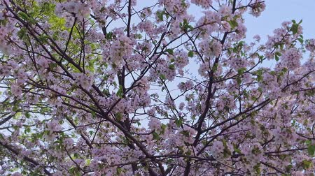 calming : Close upshot of sakura tree in blossom swinging against clear blue sky Stock Footage