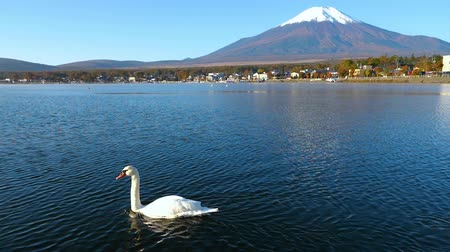 fujiyama : Slow motion of white swan swimming with Mt. Fuji background at Yamanaka Lake, Yamanashi, Japan