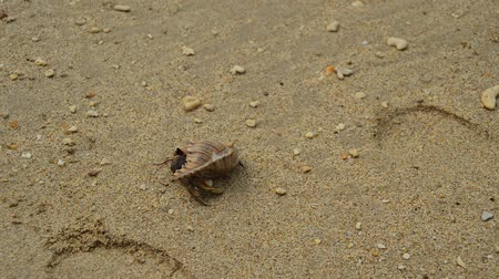 краб : Hermit crab walk on beach Стоковые видеозаписи