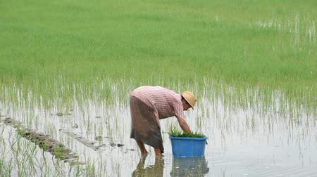 harvesting : The farmer is a woman Wear a hat holding rice planted in paddy field with The wetlands at BangYai Park, Nonthaburi in Thailand. June 30, 2019 Stock Footage