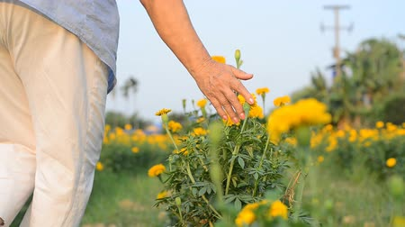 calendula officinalis : Asian senior woman touching and walking at marigold flower field